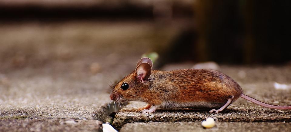 hlodavec myš