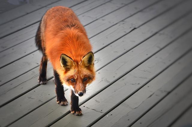 divoká liška