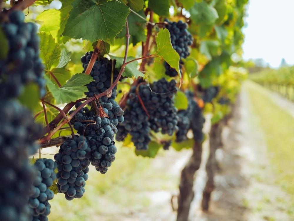 pěkný vinohrad